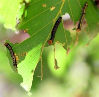 Leaf-Chewing Oak Worms