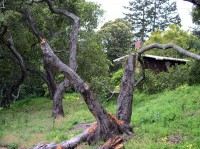 A Tree Destroyed by Sudden Oak Death