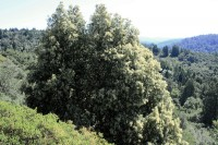 A Tan Oak